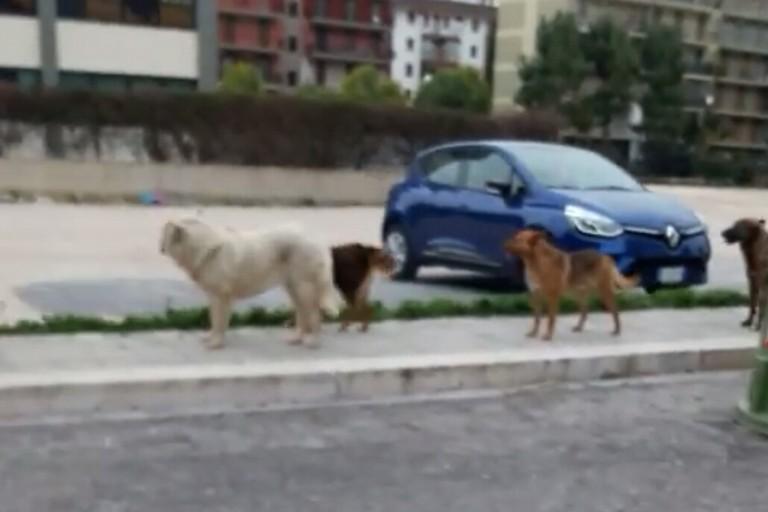 Il branco di cani