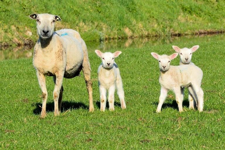 Agnelli e pecore