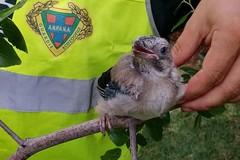 Rutigliano, recuperato un esemplare di ghiandaia caduto dal nido