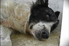Bari, Carabina la cagnolina torturata e salvata dai volontari cerca una famiglia