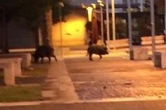 San Paolo, ancora cinghiali a passeggio in piazza Europa