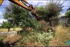 Xylella, abbattuti i cinque ulivi infetti in provincia di Bari