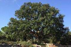 In Puglia censiti 144 alberi monumentali: 42 sono in provincia di Bari