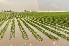 """La primavera """"pazza"""" distrugge l'agricoltura, Coldiretti Puglia: «Raccolti compromessi»"""