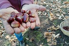 """Arrivano le prime castagne """"made in Puglia"""", Coldiretti: «Biodiversità a rischio estinzione»"""