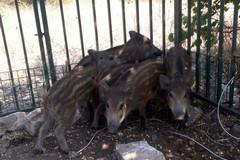 Catturati altri cinque cinghiali al San Paolo, Decaro: «In totale prelevati 98 esemplari»