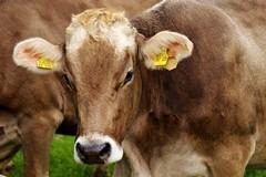 Latte in calo nelle stalle di Puglia, è colpa del caldo