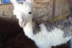 Lieto evento nel circo Marina Orfei, a Bari nasce un cucciolo di lama
