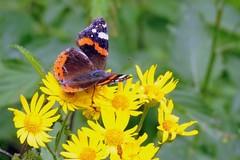 """""""Farfalle nel parco"""", domani presentazione di un libro e caccia ai colorati insetti al Parco Gargasole"""