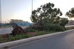 Alberi caduti a Bari, l'appello di SOS Città: «Piantiamone di nuovi»