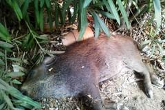 Cinghiale morto a Bari, nessuno porta via la carcassa
