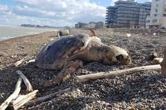 "Bari, tartaruga spiaggiata a San Girolamo da 5 giorni attende ""degna sepoltura"""