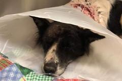 Carabina, la cagnolina sfortunata operata ancora