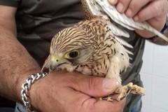 Trovato un piccolo di falco a Valenzano