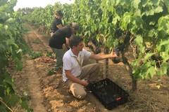 """Al via la vendemmia in Puglia, Coldiretti: """"Meno 5 percento ma ottima qualità"""""""