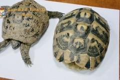 Bari, nasconde due tartarughe a rischio estinzione: denunciato