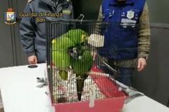 Porto di Bari, beccato agli imbarchi per Durazzo con due pappagalli vivi. Denunciato