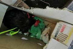 Legato per le zampe e abbandonato in un cartone, gallo salvato dai volontari