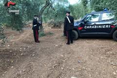 Furti di olive nelle campagne di Bari, cinque arresti
