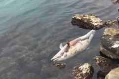 Bari, la carcassa di un delfino nel porto di Santo Spirito