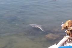 Giovane delfino morto nel porto di Santo Spirito
