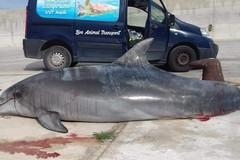 Delfino deceduto a Monopoli, forse impigliato in una rete