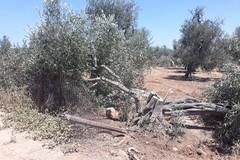Strage a Santo Spirito, danneggiati 40 ulivi secolari