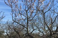 """""""Finta primavera"""" in Puglia, l'allarme di Coldiretti: «Mandorli in fiore. Rischio shock termico»"""