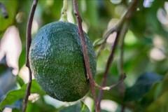 Frutti esotici made in Puglia, ecco dove si coltivano avocado, lime e bacche di Goji