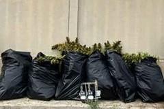 Bari, scoperta piantagione di marijuana nella zona industriale: scatta il sequestro