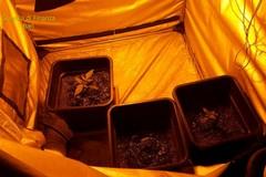 Mola di Bari, coltivava marijuana in casa. Denunciato 30enne