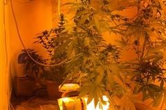 Mola di Bari, coltivava marijuana in uno scantinato. Arrestato restauratore 48enne