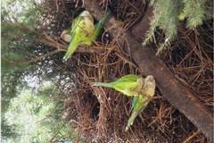 Invasione di pappagalli a Bari e provincia, Coldiretti: «Colpa del clima tropicale»