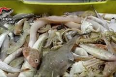 Mola di Bari, 66 chili di pesce non tracciabile: scatta la multa da 1.500 euro