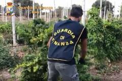 Polignano, scoperte due piantagioni di marijuana. Scattano arresto, denuncia e sequestro