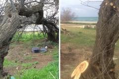 Scempio sugli alberi a Pane e Pomodoro? No potatura per salvare le piante