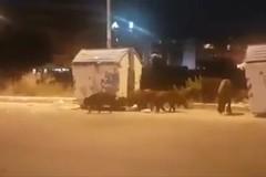 L'ultimo avvistamento di cinghiali al San Paolo