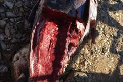 Bari, ritrovata la carcassa di un tonno in spiaggia a Santo Spirito