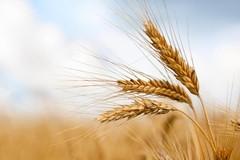 Grano, la Puglia dimezza le importazioni