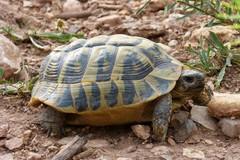 Commercio illegale di tartarughe scoperto in Puglia. Testuggini vendute sul web