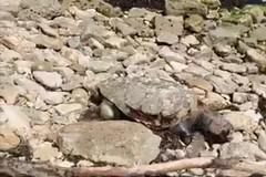 Una tartaruga morta ritrovata a Palese
