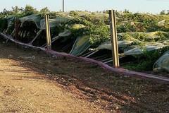 Racket ai danni dei coltivatori in provincia di Bari, devastati i tendoni dell'uva da tavola