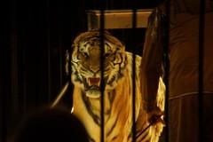 """Tigri """"accusate"""" della morte del domatore tornano al circo?"""