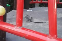 Poggiofranco, un topo morto sulle giostrine nel parco Don Tonino Bello