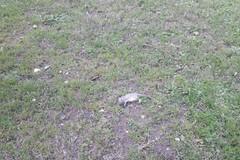 Bari, un topo morto in piazza Umberto. Sos Città: «A due passi dal Villaggio di Babbo Natale»