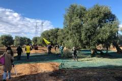 Xylella nella Piana degli ulivi monumentali. Coldiretti Puglia: «Distrutto un terzo degli alberi»