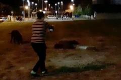 Bari, ragazza si fa un selfie coi cinghiali, il sindaco: «Comportamento irresponsabile»