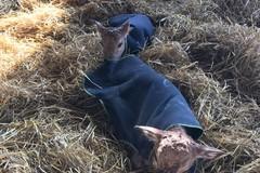 Maltempo sulla Puglia, animali col cappotto. Trattori in azione per liberare le strade