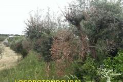 Contenimento Xylella in provincia di Bari, arrivano 10 milioni per il monitoraggio