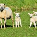 Puglia, agnello in tavola anche a Pasquetta per 4 famiglie su 10